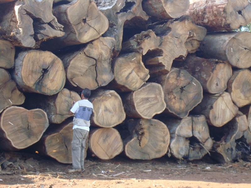 Wood anatomist José Arlete Camargos identifying cedar wood log in Acre, Brazil. Photo credit: Project NIRS ID.