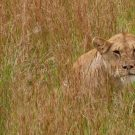 Lioness watches hidden in the grass.
