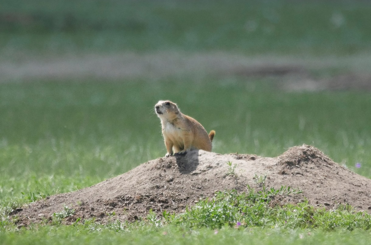 Black-tailed prairie dogs guard their burrows on the Fort Belknap Indian Reservation. @Conservation Media/WWF-US