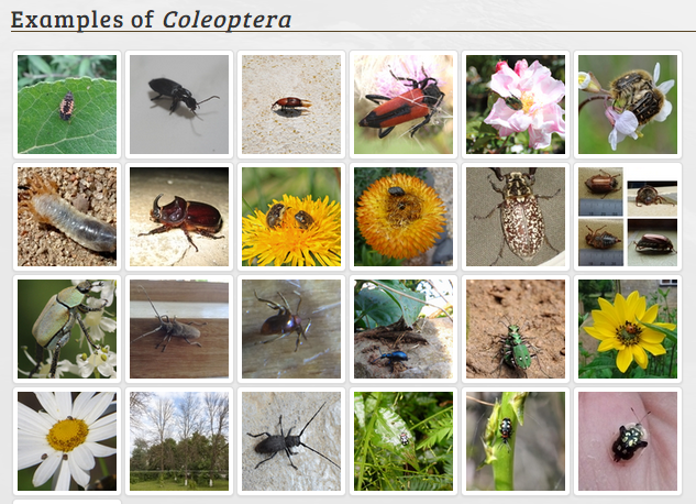 Coleoptera images