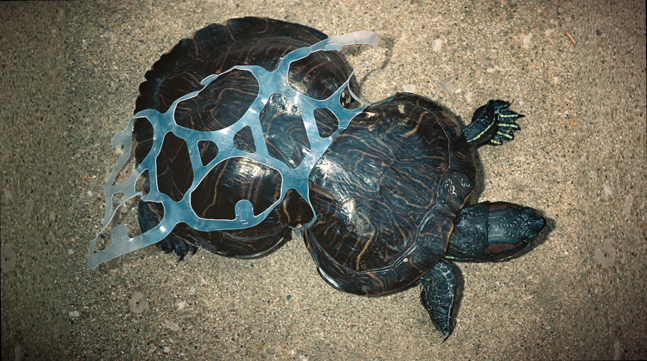 A turtle trapped in and deformed by a set of plastic six-pack rings. Photo credit: We Believers and Saltwater Brewery.