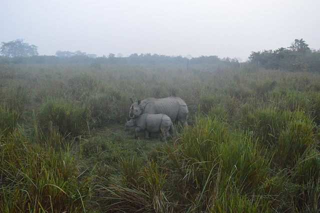 In Assam's Kaziranga National Park, apart from an extraordinarily dense Bengal tiger population, e-Eye also monitors two-thirds of the global great one-horned rhino population. Photo credit: FarHorizon India Tours.
