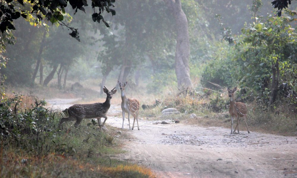 Spotted deer sounding an alarm call indicating the presence of a big cat before scampering away to the other side of the forest in Corbett. Photo credit: Bendale Kaustubh.