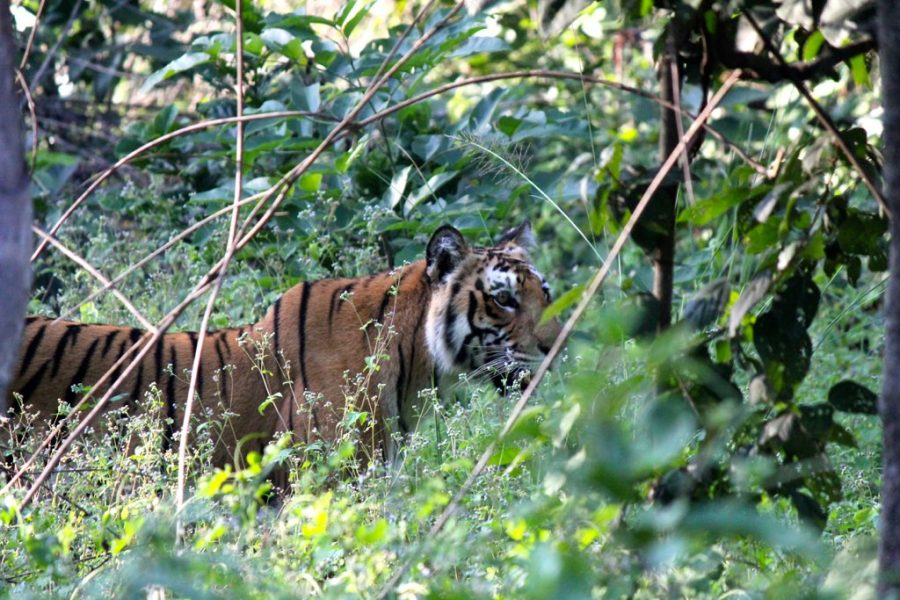 A Bengal tiger prowling through vegetation in Jim Corbett National Park, where e-Eye was piloted and decreased illegal human activity. Photo credit: Ross Huggett.