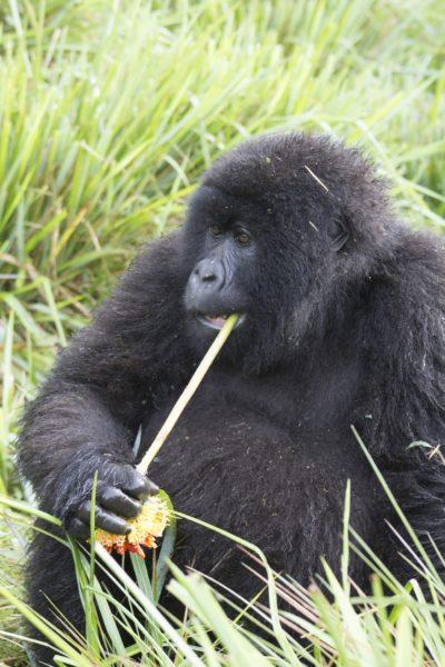 Female mountain gorilla eating paintbrush (Kniphofia acraea) in Volcanoes National Park, Rwanda.Photo credit: T. Smiley Evans.