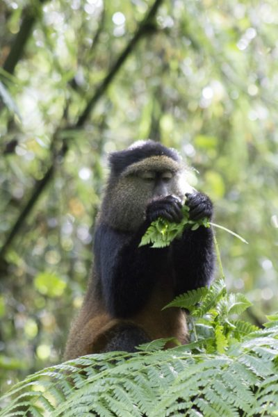 The IUCN Red List classifies the golden monkey as endangered due to habitat destruction, including illegal activities such as tree extraction. Photo credit: Sue Palminteri.