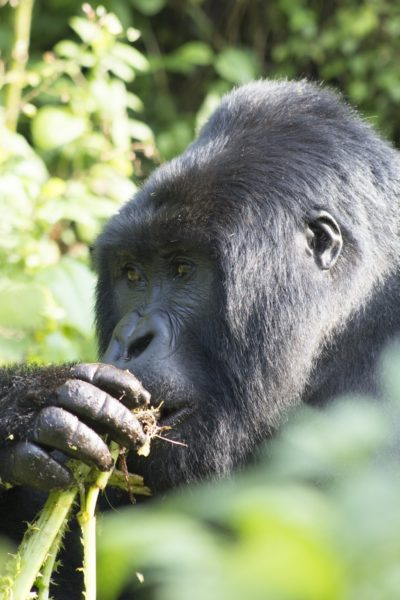 Silverback mountain gorilla eating a Cardus species root in Volcanoes National Park, Rwanda. Photo credit: T. Smiley Evans.