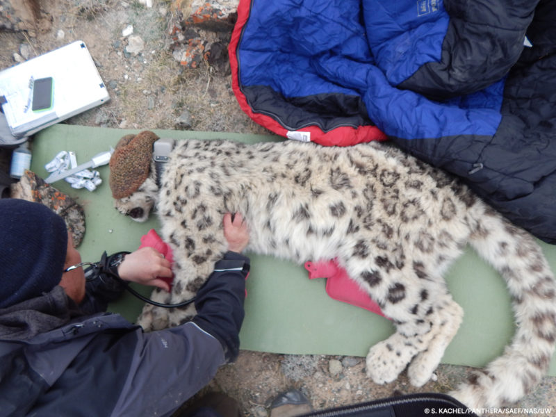 "Wildlife Conservation Society (WCS) veterinarian Martin Gilbert checking snow leopard female's (""Ak Shoola"") respiratory rate, Kyrgyzstan. Photo credit: S. Kachel-Panthera-SAEF-NAS-UW."