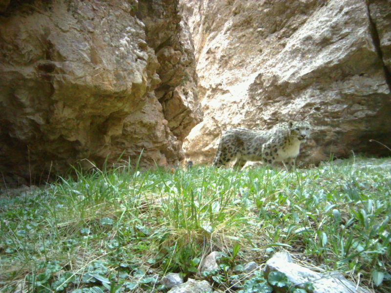 Snow leopard notices camera trap, Kyrgyzstan. Photo credit: Panthera-SAEF-NAS-UW.