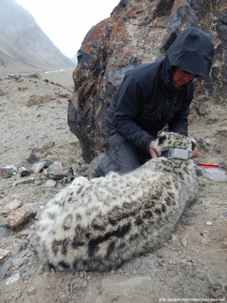 "Principle Investigator Shannon Kachel fitting second female snow leopard (""Ak Shoola"") with GPS collar, Kyrgyzstan. Researchers do this immediately after checking the cat's airway, as it's their foremost priority aside from keeping the animal healthy and safe. Photo credit: M. Gilbert-Panthera-SAEF-NAS-UW."