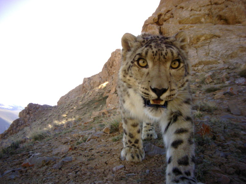 Snow leopard approaches camera trap, Kyrgyzstan. Photo credit: Panthera-SAEF-NAS-UW.