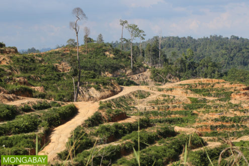 An oil-palm plantation with a few remaining rainforest trees in Sarawak, Malaysia. Photo by Rhett A. Butler.