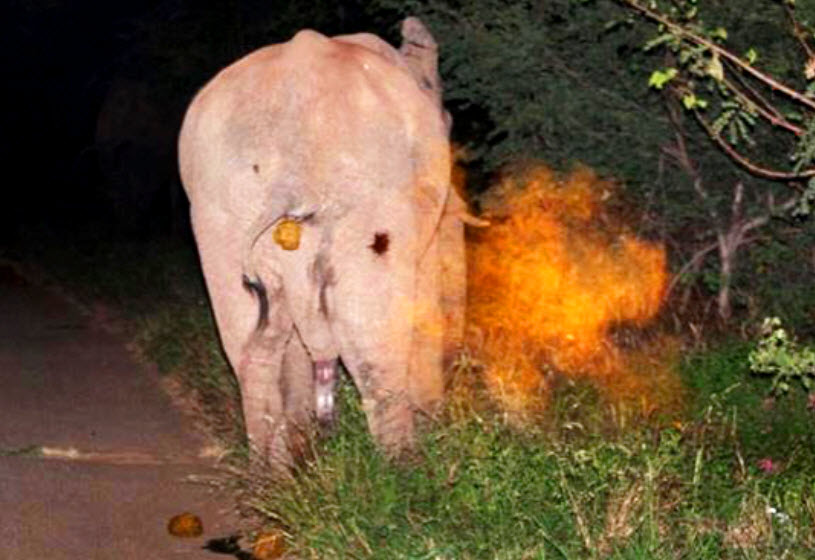 elephant hit by chili bombs_Osborn