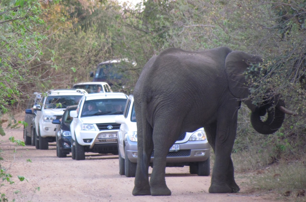 Elephant blocking traffic