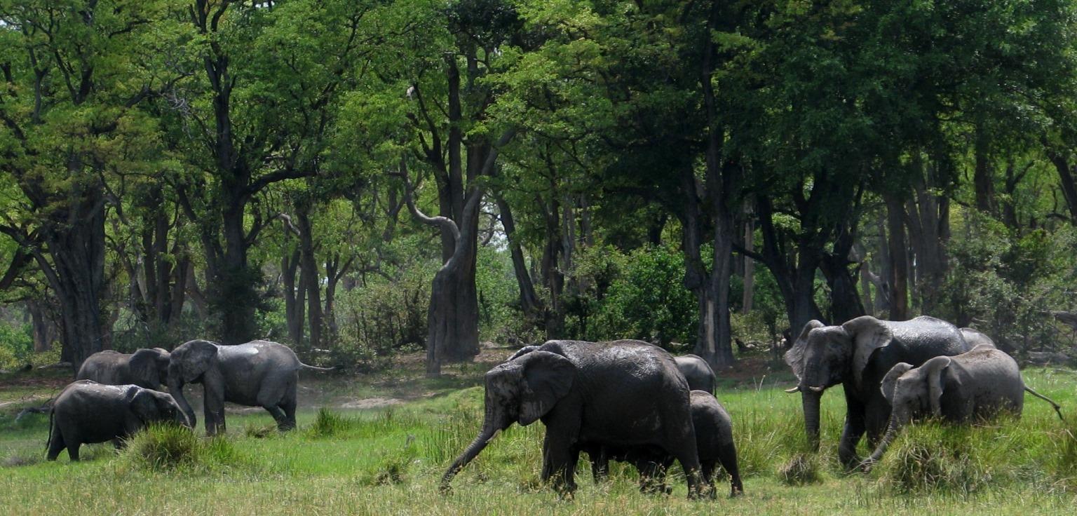 Botswana big ellie herd walking by