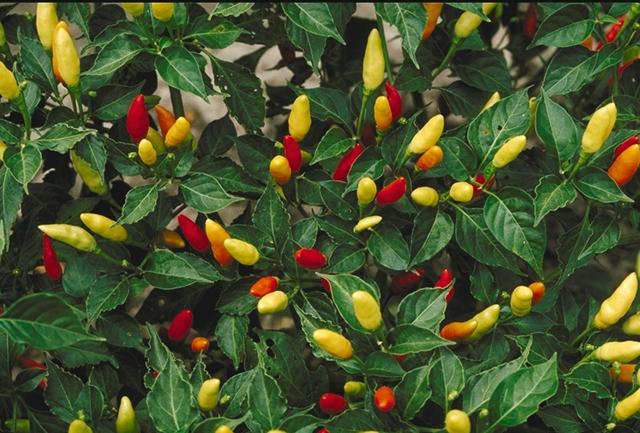 Tabasco peppers