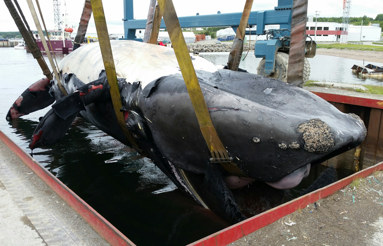 The carcass of Piper, a North Atlantic right whale, is hoisted out of the ocean in Newport, Quebec. Photo credit: Jean Francois Blouin, Canadian Whale Institute.