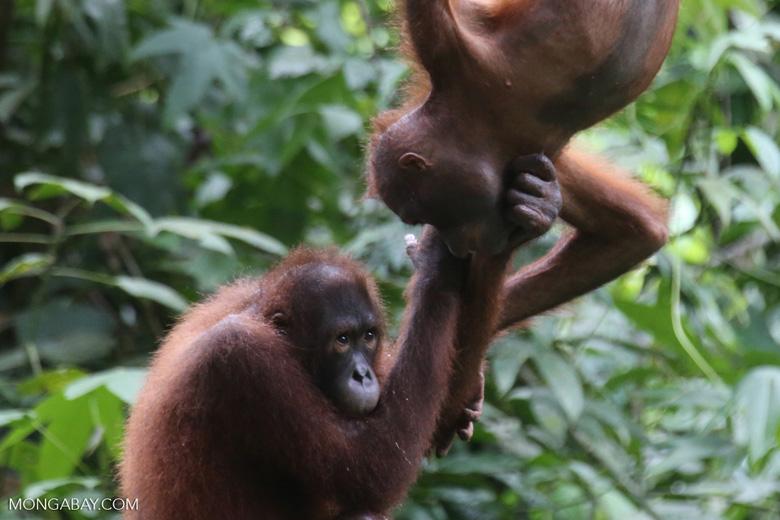 A pair of orphaned orangutans in Sabah, Malaysia. Photo by Rhett A. Butler