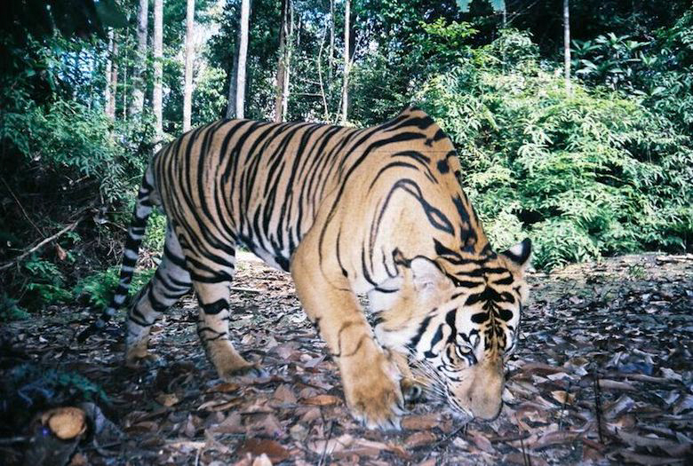 An adult male Sumatran tiger captured by camera trap. Photo credit: WWF_PHKA_VATech.
