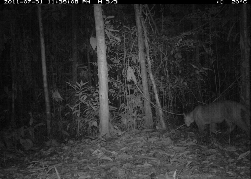 Puma (Puma-concolor). Photo courtesy of the TEAM Network.