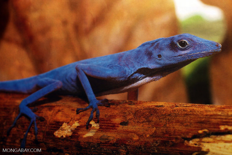 Una anole azul, lagartija endémica de la Isla Gorgona, Colombia.