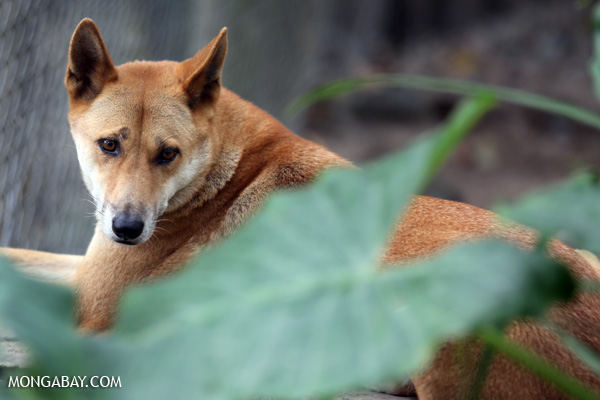 El dingo. Foto: Rhett A. Butler