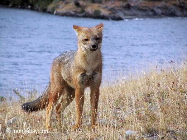 El zorro gris habita en Argentina y Chile. Foto: Rhett A. Butler