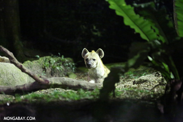 La hiena manchada. Foto: Rhett A. Butler