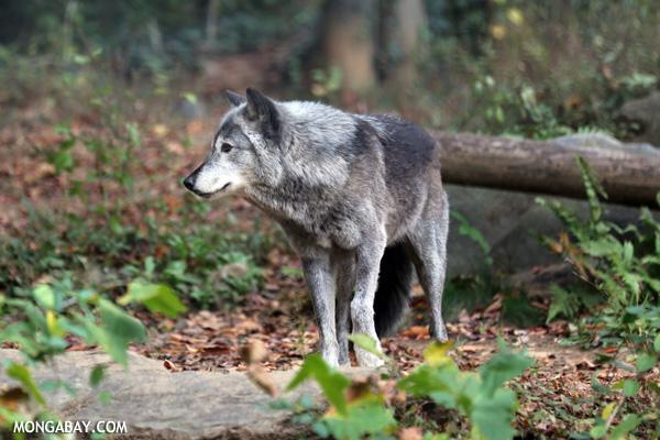 Lobo gris. Foto: Rhett A. Butler