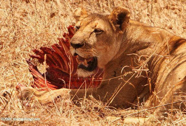 Una leona con los restos de una zebra. Foto: Rhett Butler