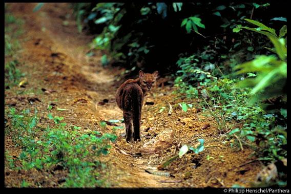 El gato dorado africano (Caracal aurata) como el felino menos estudiado de África. Foto de: Philipp Henschel/Panthera.