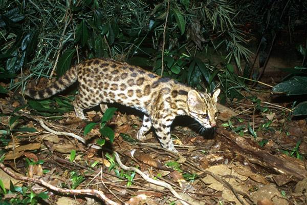 Los exámenes de ADN revelaron una nueva especie salvaje de felinos de tamaño reducido: el Leopardus guttulus. Como se observa en la imagen, la nueva especie se halla principalmente en la Mata Atlántica. Fotografía de: Projeto Gatos do Mato – Brasil/Proyecto felinos salvajes de Brasil.