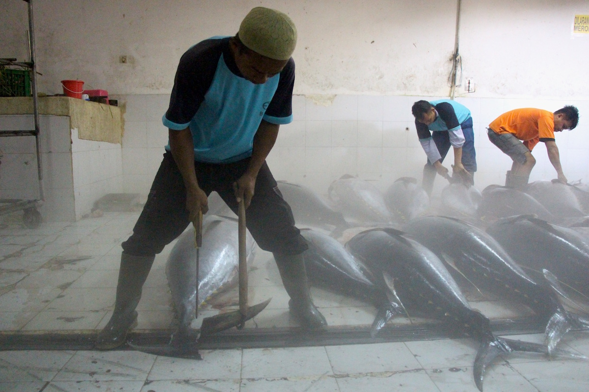 Workers at Labuhan Lombok-based tuna buyer Baura trim tails and fins off yellowfin tuna for export from Indonesia to Japan, the U.S., or Europe. Photo by Melati Kaye.