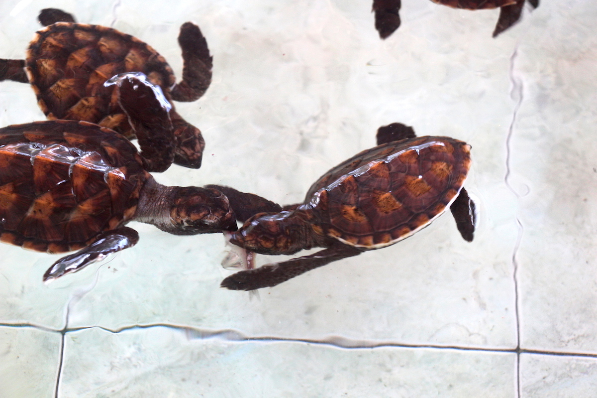 Baby green sea turtles tussle over a scrap of frozen sardine at Bolong's Turtle Sanctuary in Lombok, Indonesia. The turtles will eventually be released to augment local turtle populations. Photo by Melati Kaye.