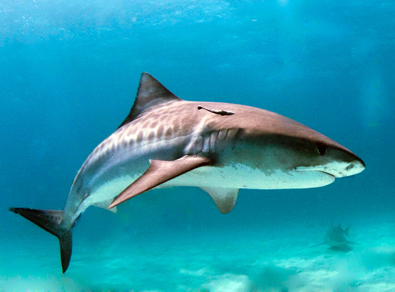 Tiger shark. Photo courtesy of Albert Kok via Wikimedia Commons.
