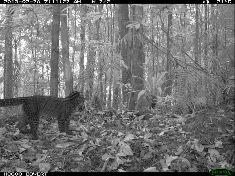 A marbled cat, captured in the early hours of the morning. Photo credit: WWF-KemenLHK.