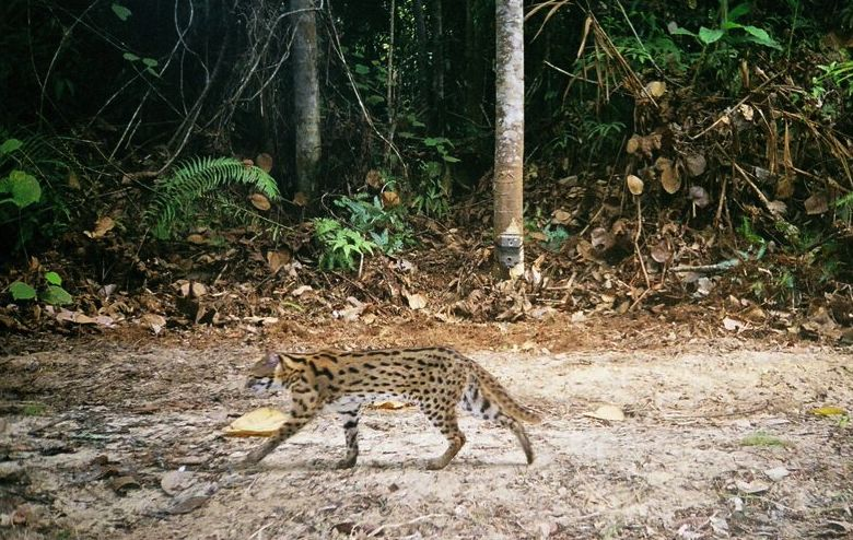 A leopard cat, captured uncharacteristically during the day by camera trap. Note the camera trap on the tree trunk in the background. Photo credit: WWF_PHKA_VATech.