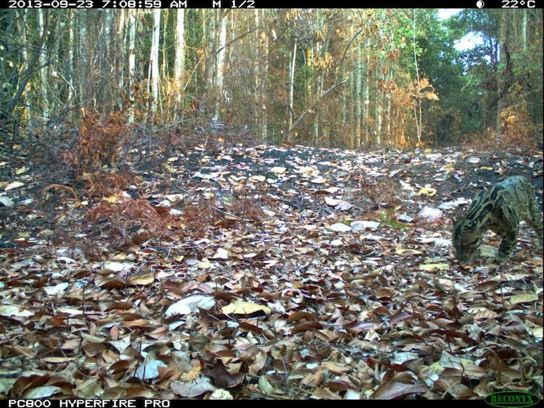 A Sunda clouded leopard captured by camera trap. Photo credit: WWF-KemenLHK.