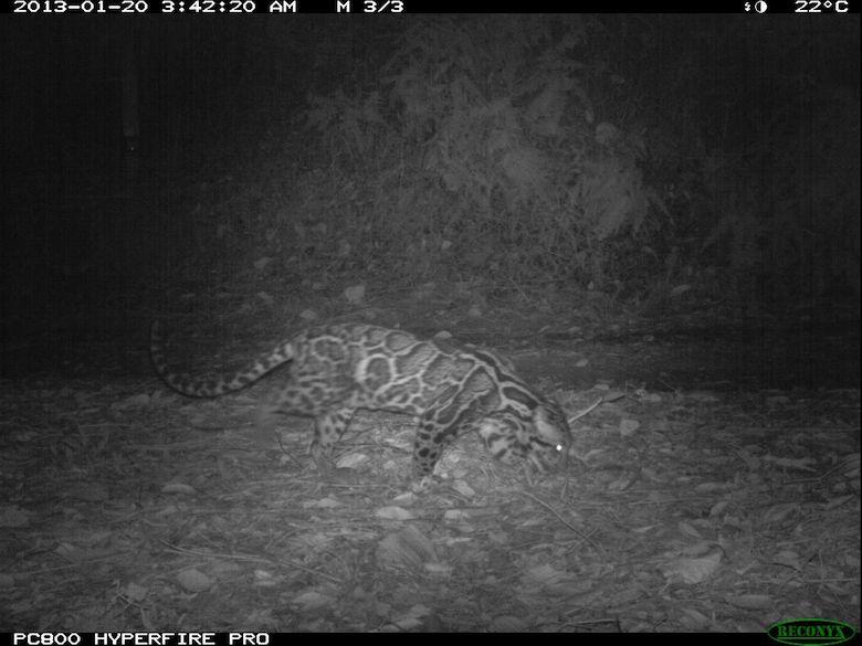 A Sunda clouded leopard, captured at night by camera trap. Photo credit: WWF-KemenLHK.