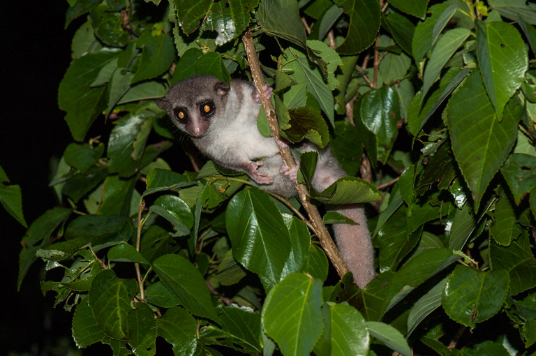 """The real excitement came from being able to approach them so closely — it is a rare treat to see a dwarf lemur so close, and to see such a beautiful wild animal from just a couple of feet is an indescribable experience."" - Dr. Charlie Gardner. Photo credit: Louise Jasper."