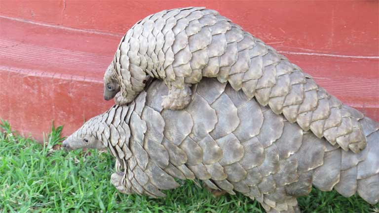 Baby pangolins travel on their mother's backs. Photo credit: Tikki Hywood Trust.