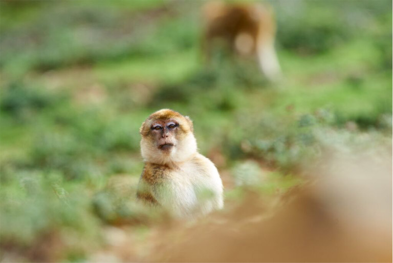 A macaque looks around, alert for passing cars and people, while grazing in a grassy clearing on the outskirts of Bouhachem Forest. Photo credit: Andrew Walmsley.