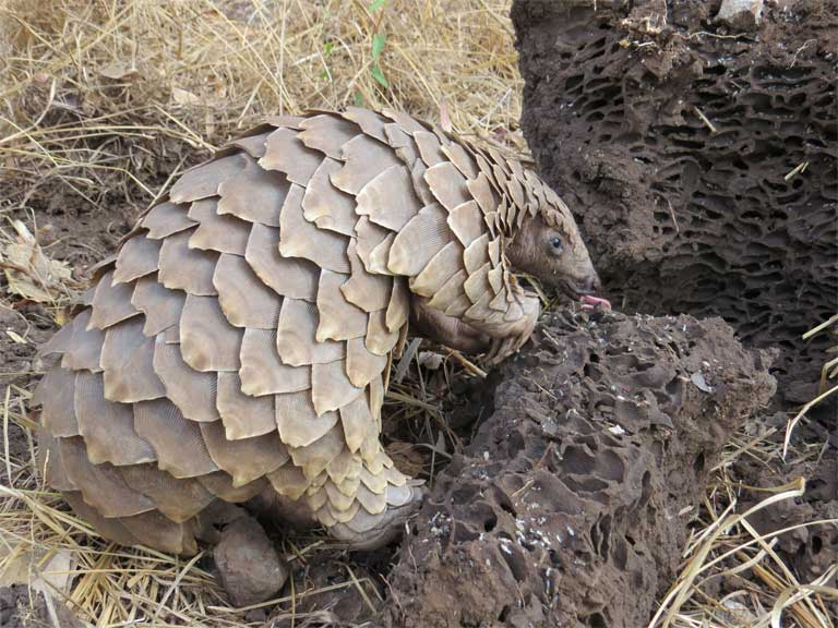 Pangolins use their sharp claws to dig into termite mounds and ant nests, then scoop up the insects with their tongues. Photo credit: Tikki Hywood Trust.