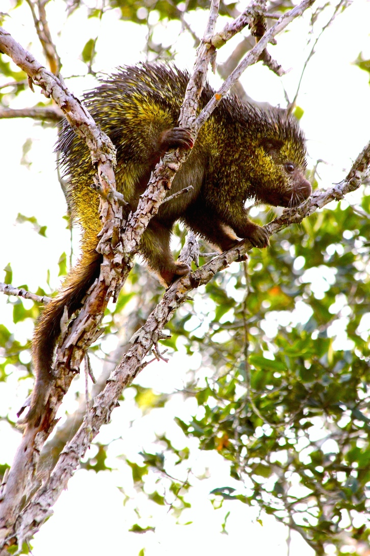 One morning, William Ferrufino came strolling into camp carrying this bicolor-spined porcupine (bicolored-spined porcupine (Coendou bicolor) by the tail. Photo by Morgan Erickson-Davis.