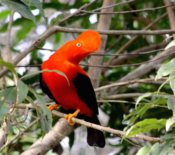 This Andean cock-of-the-rock (Rupicola peruvianus) was a regular visitor to ID Madidi's basecamp at the first site. Photo by Morgan Erickson-Davis.