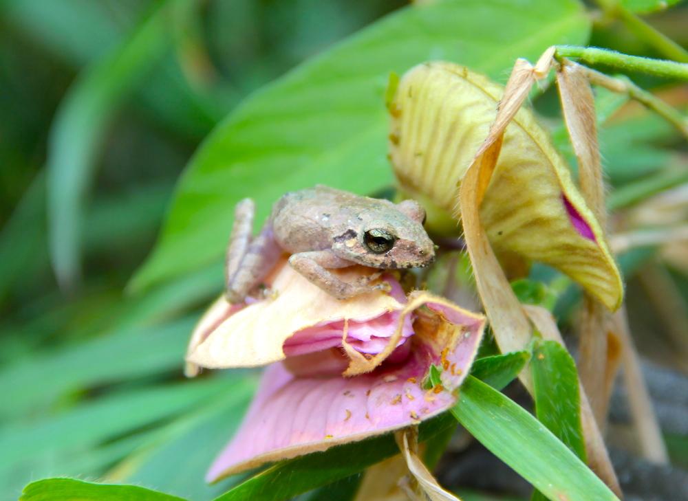 A Pristimantis frog. Photo by Morgan Erickson-Davis.