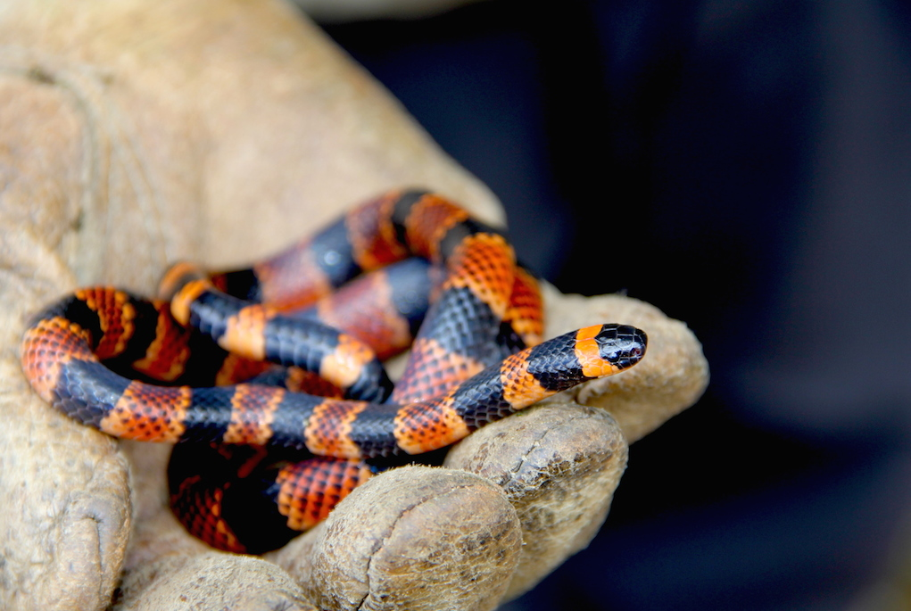 This coral snake (Micrurus annellatus) was a new record for the park. Photo by Morgan Erickson-Davis.