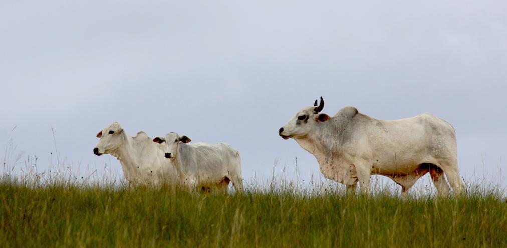 Small herds of cattle roam the grasslands. Photo by Morgan Erickson-Davis.