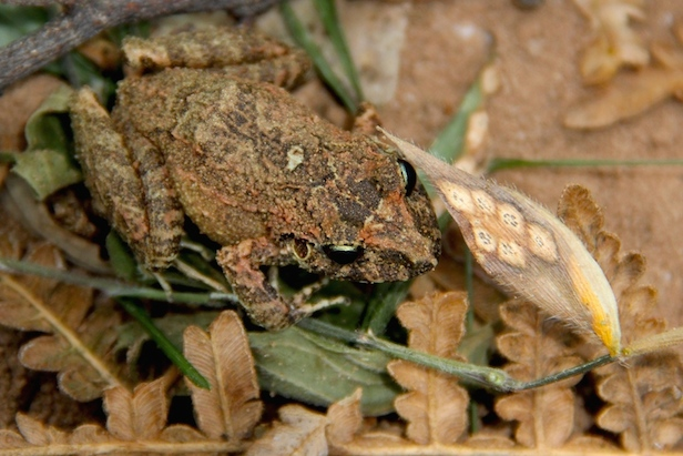 The next day, there were two frogs in the traps - a new species of the genus Oreobates! Photo by Morgan Erickson-Davis.