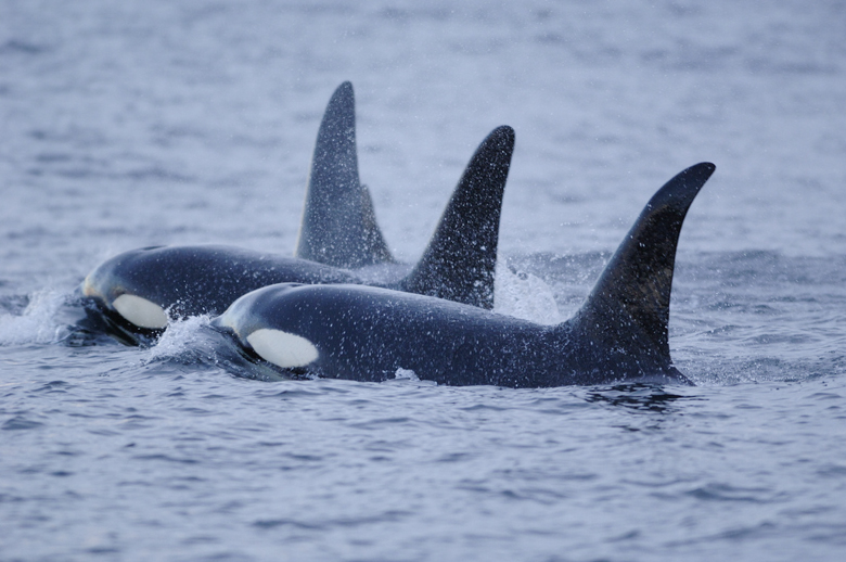 Orcas. Photo credit: Courtesy of Dr. Brandon Southall, NOAA/NMFS/OPR.